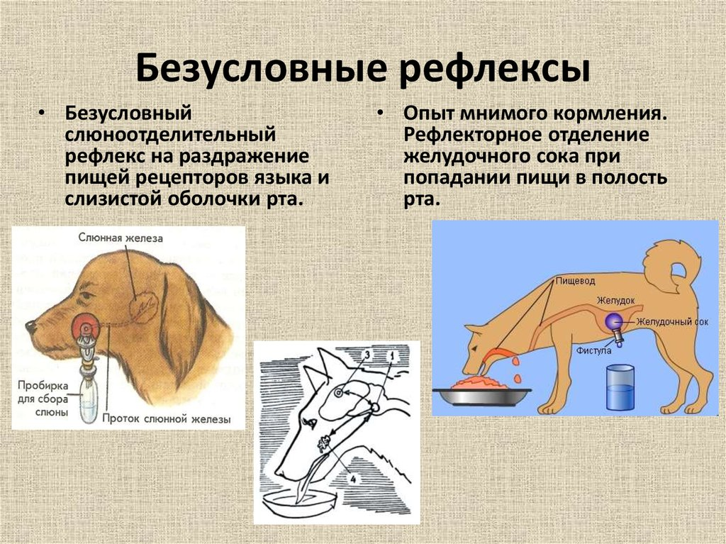 Собака Павлова: что это такое, опыты с рефлексами животного
