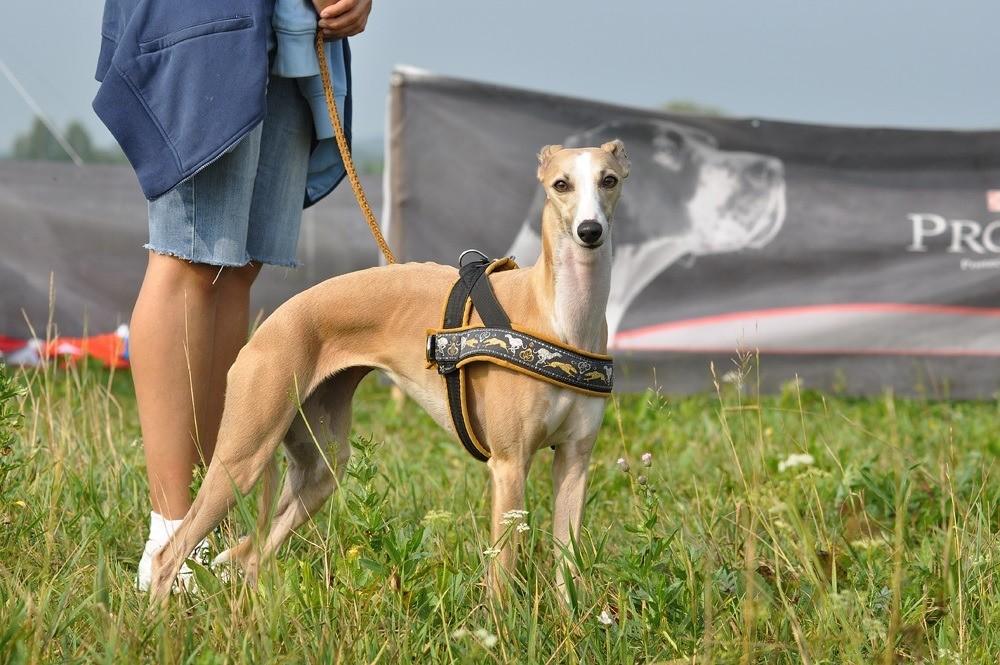 Уиппет (малая английская борзая собака): стандарт породы
