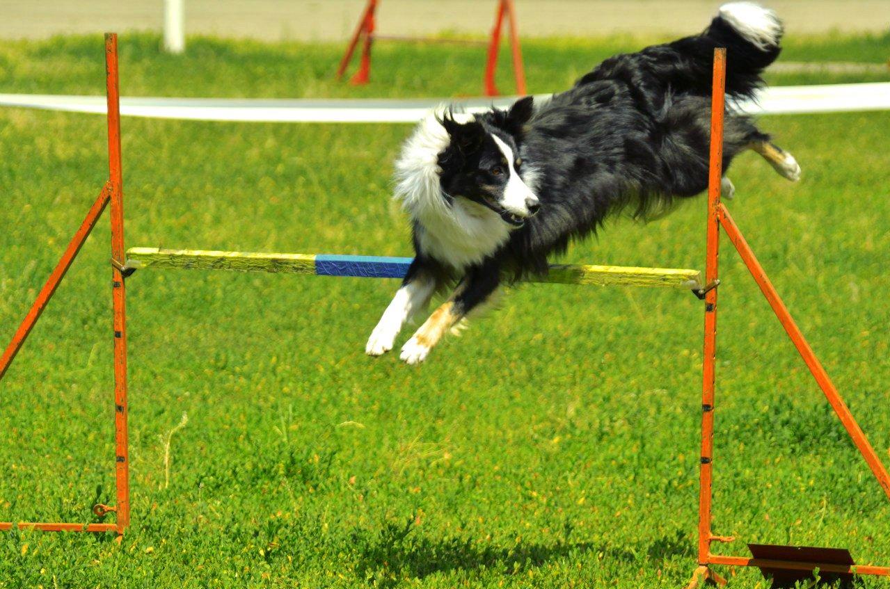 Аджилити для собак: что это такое, полоса препятствий