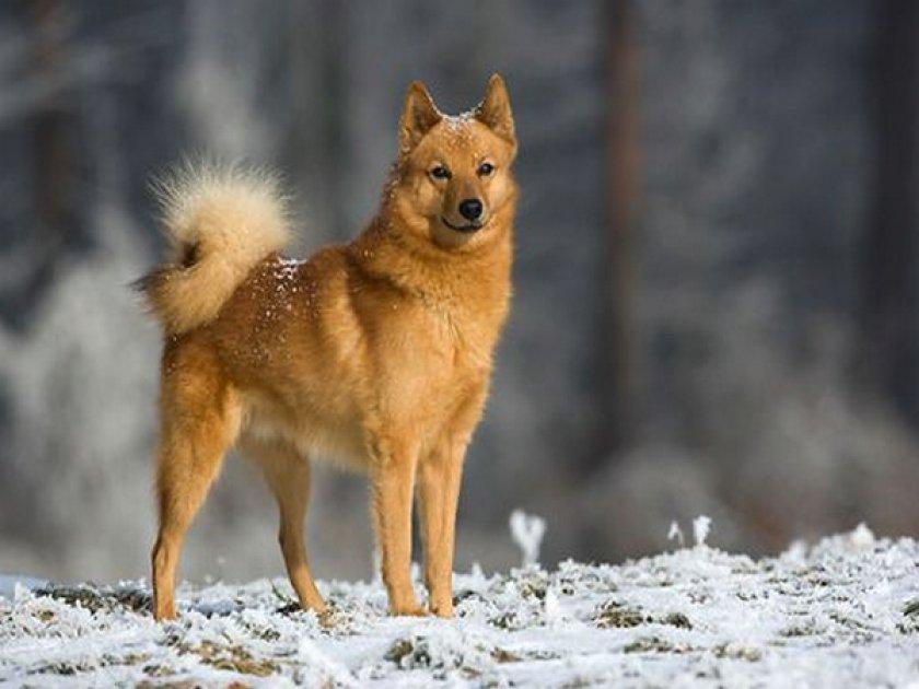 Рыже-красный охотник — карело-финская лайка