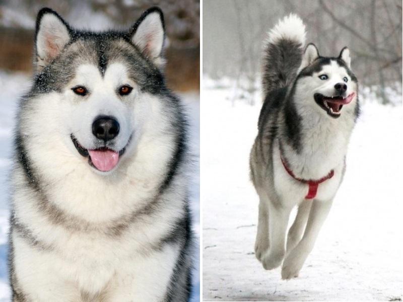 Собаки похожие на хаски: породы крупнее и меньше