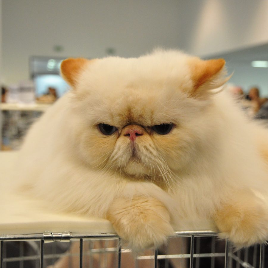 Кошки с приплюснутой мордой: описание каждой из пород, особенности ухода