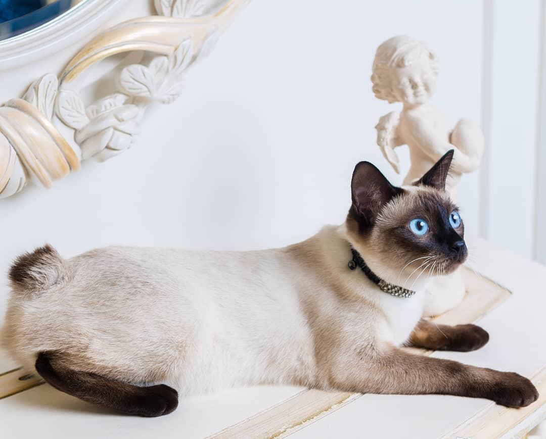 Меконгские бобтейлы: удивительные короткохвостые кошки