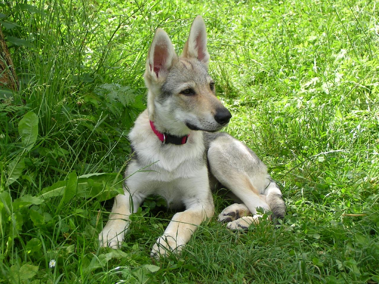 Чехословацкий влчак