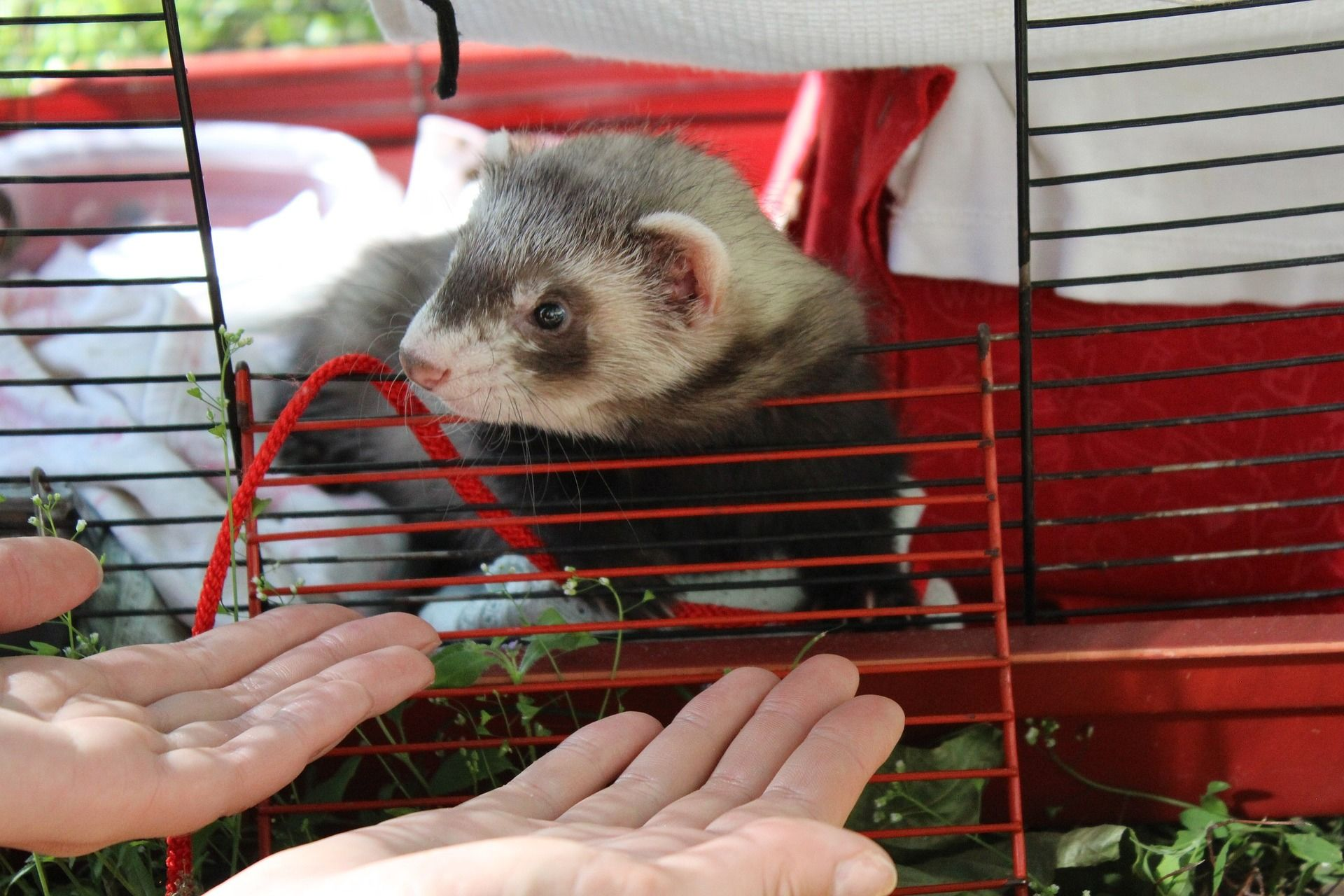 Хорек домашний — плюсы и минусы животного