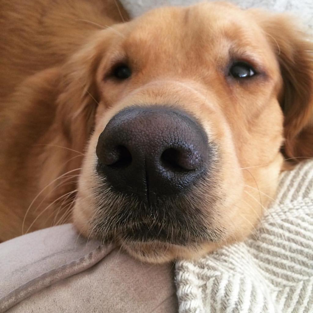 Сухой нос у собаки и теплый: причины и что это значит