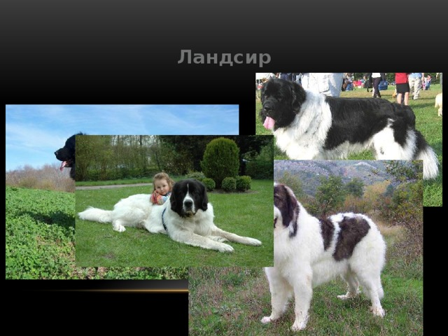 Ландсир: «нарисованная» порода собак
