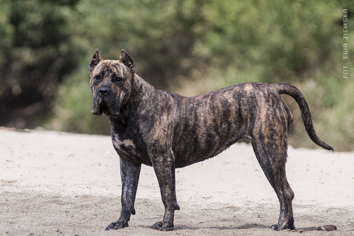 Топ-10 самых опасных пород собак