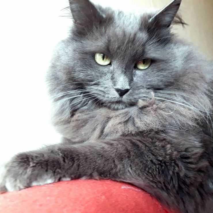 Нибелунг — порода кошек, голубой длинношерстный кот
