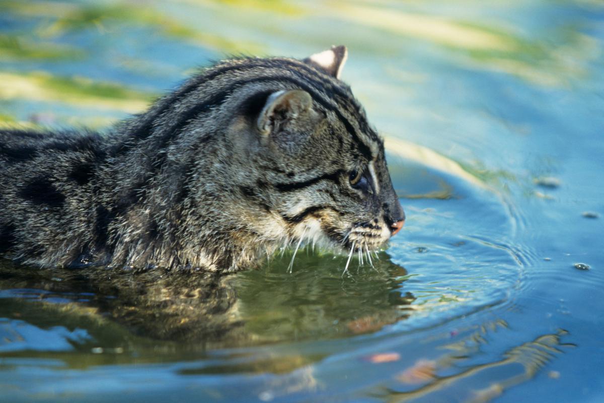 Виверровый кот-рыболов (крапчатая кошка, рыбья кошка)