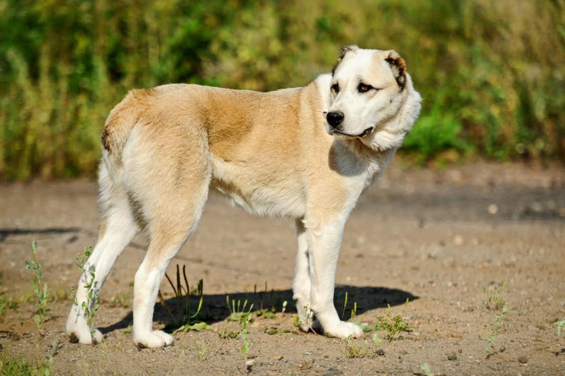 Алабай (среднеазиатская овчарка): порода собак