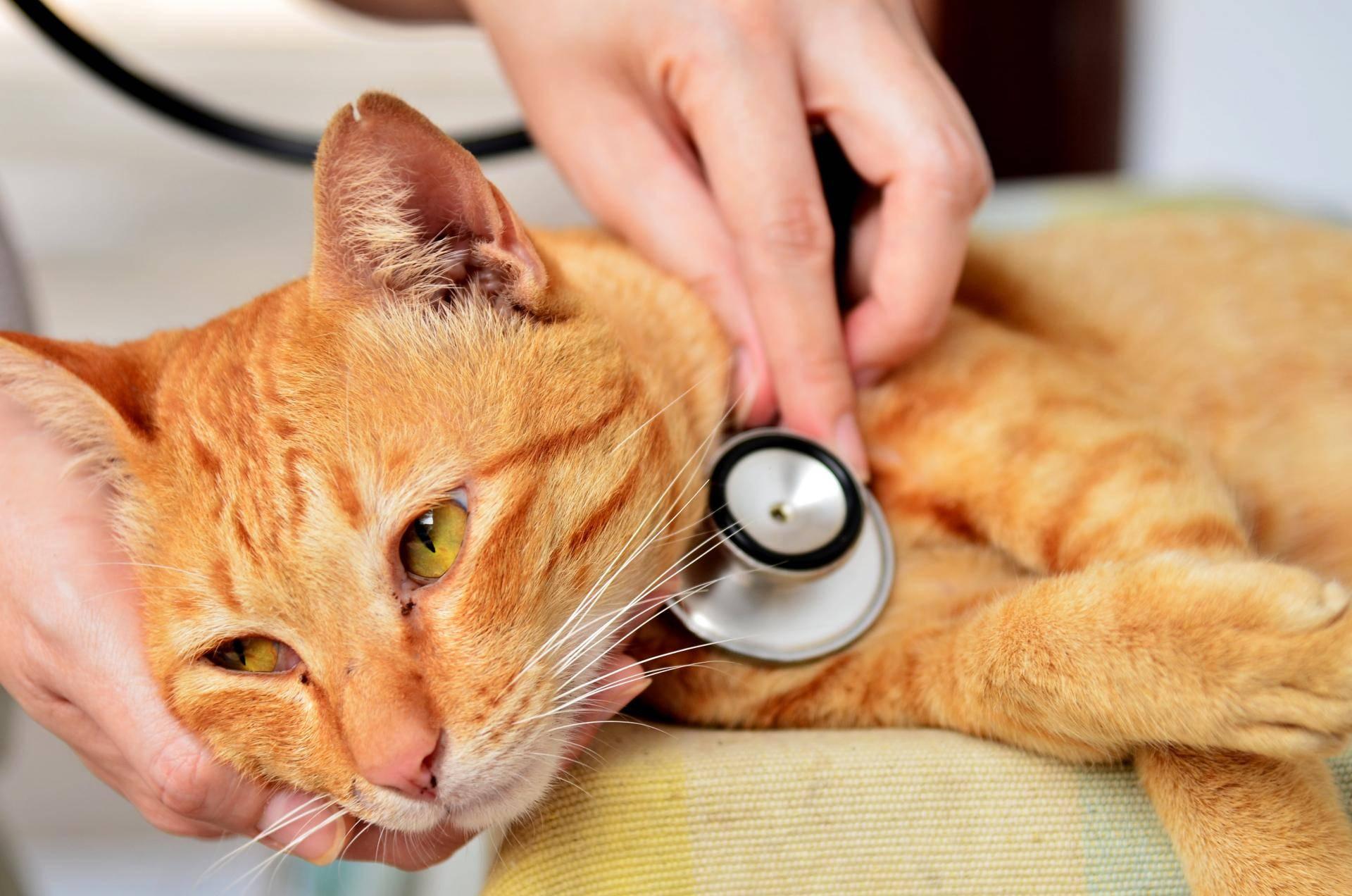 Лейкоз у кошек: что это такое и чем опасен