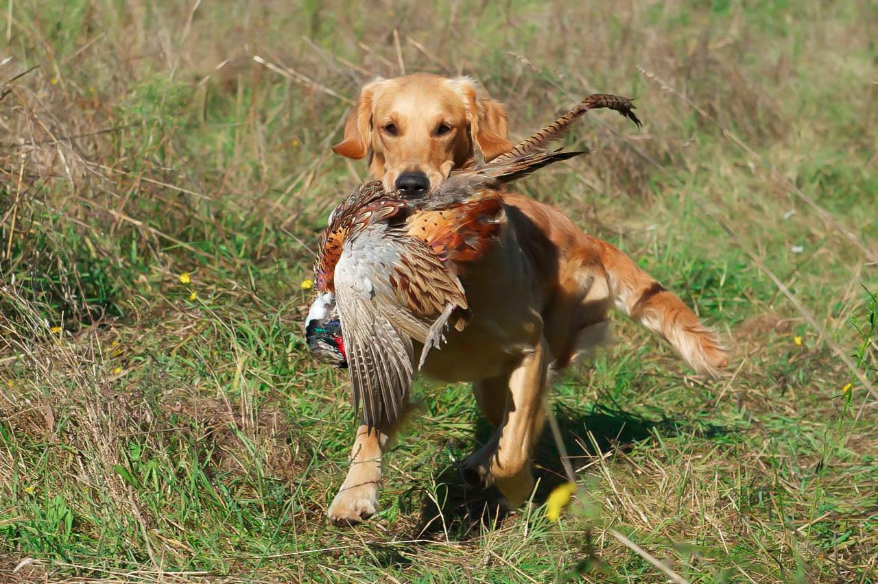 5 охотничьих пород собак, которые могут стать верными друзьями
