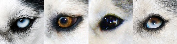 Хаски с разными глазами: с голубыми и карими, арлекины
