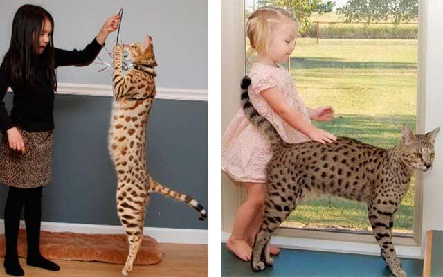 Ашера — cамая скандальная порода кошек