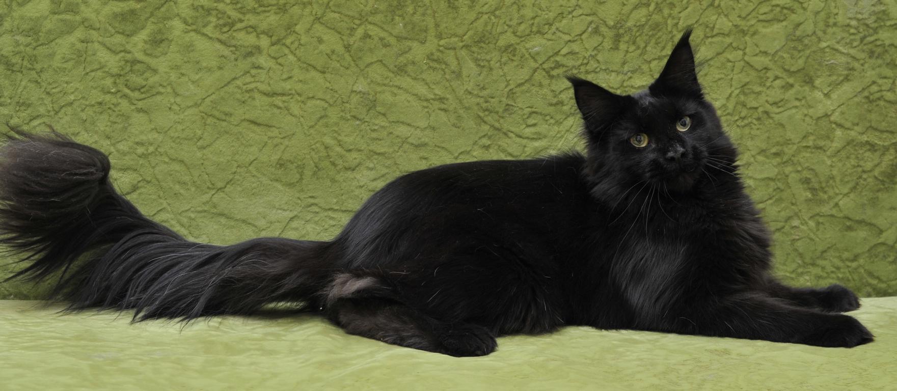 Породы черных кошек: окрас и оттенок глаз