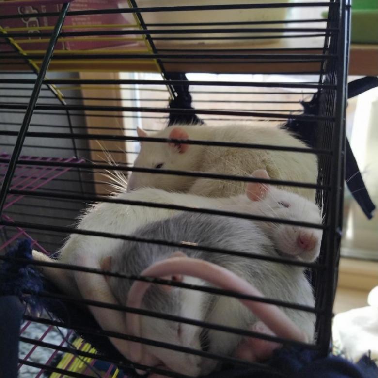 Сколько стоит домашняя крыса — цена содержания
