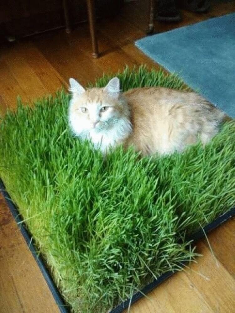 Трава для кошек и котов