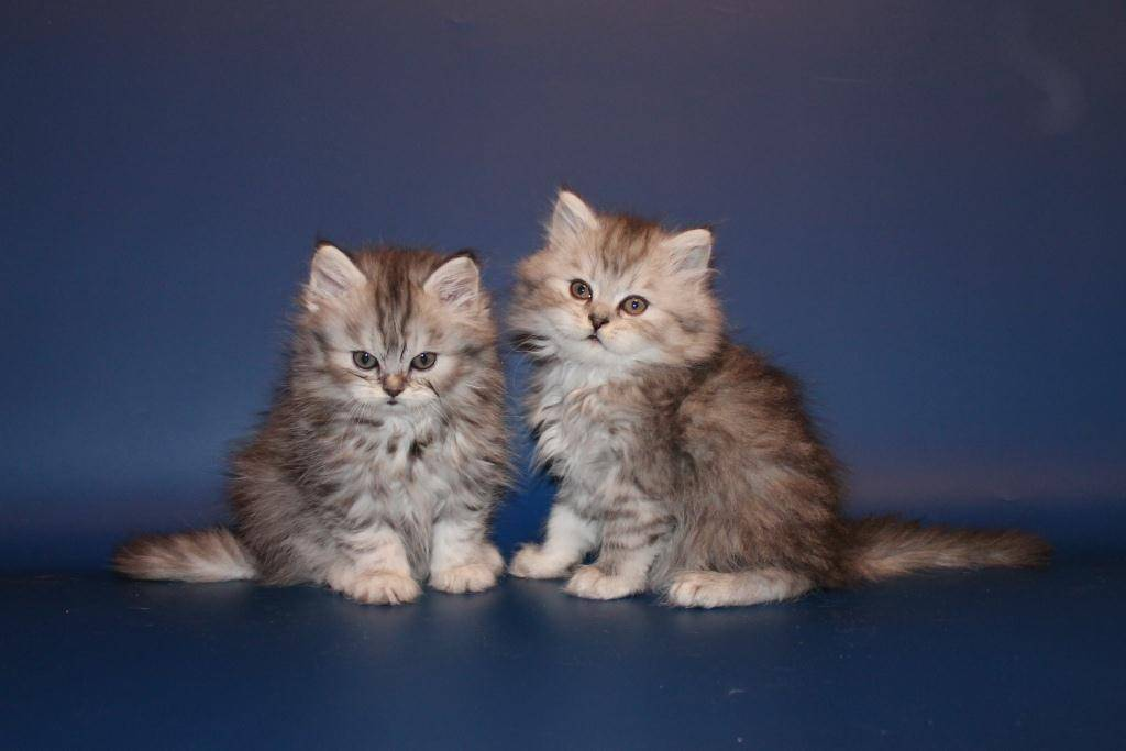 Хайленд страйт (шотландская длинношерстная кошка)
