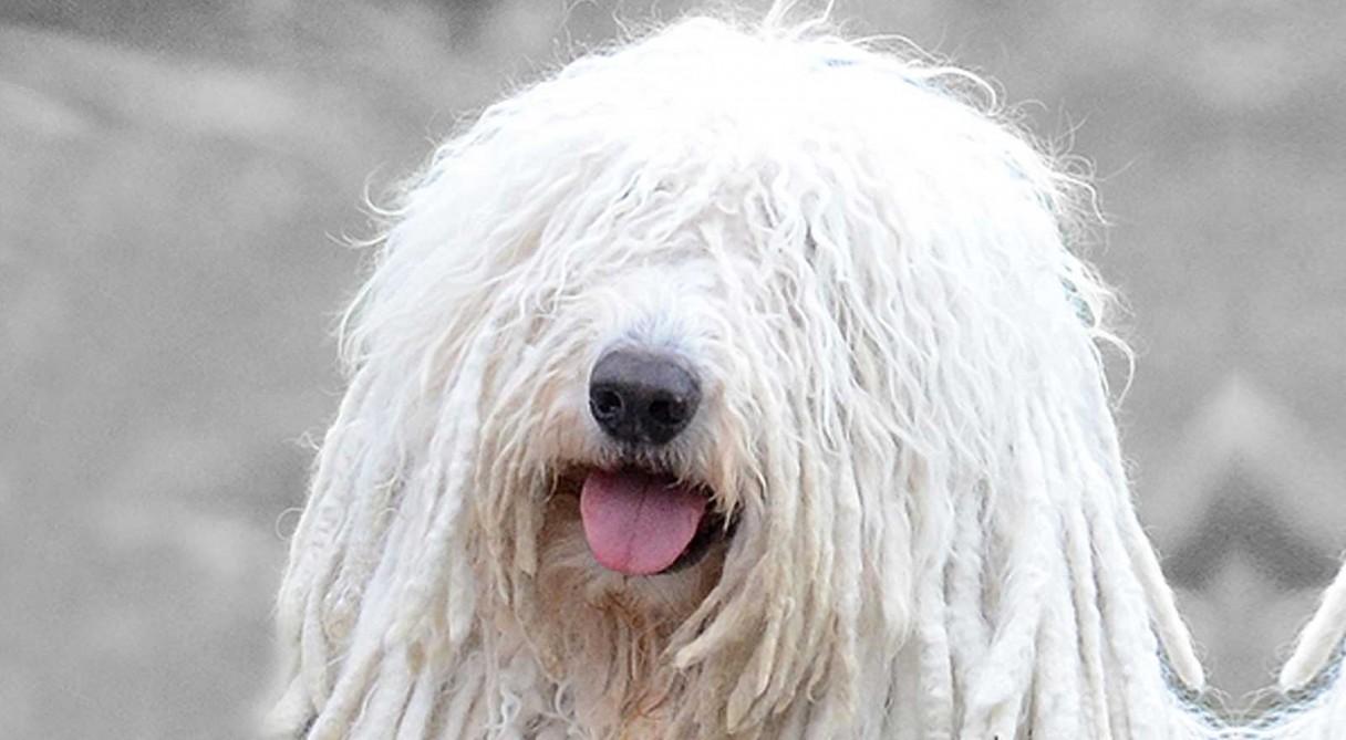 Пушистые собаки: маленькие и большие лохматые породы