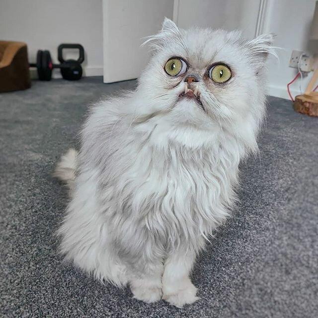 Уродливый кот: примеры самых некрасивых пород