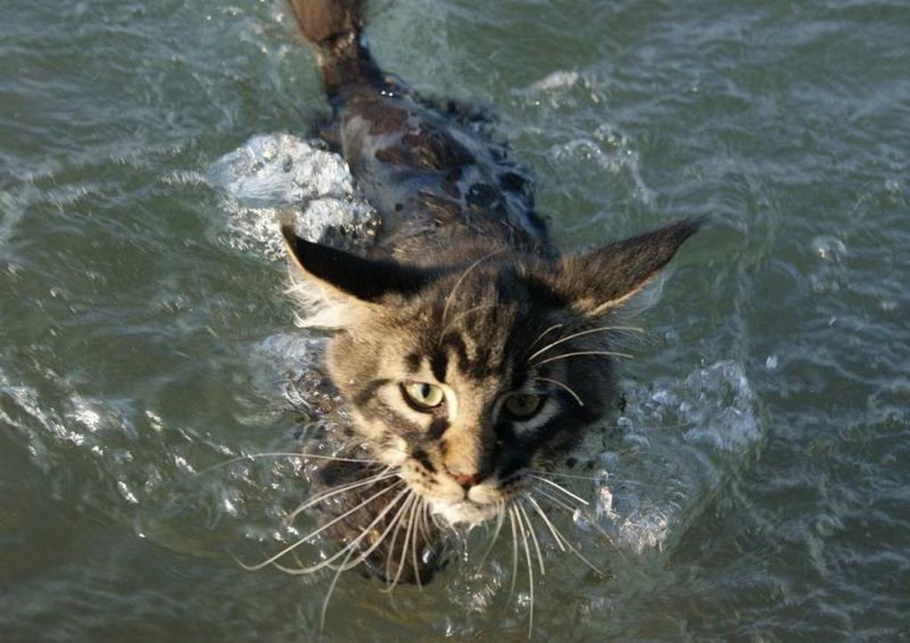 Породы кошек, которые любят купаться