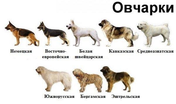 Виды овчарок: какие бывают, названия пород