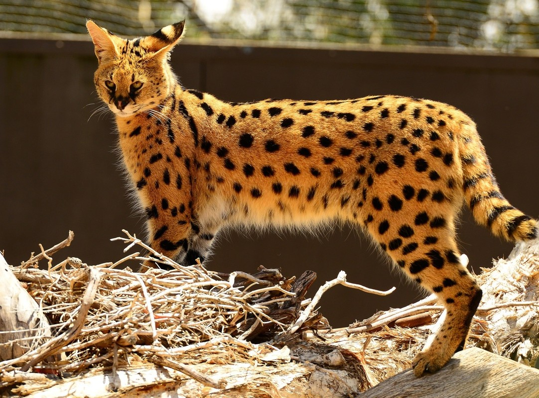 Сервал (домашняя кошка): размеры и вес африканской породы