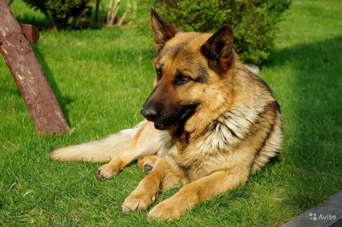 Немецкая овчарка: описание породы, собак и щенков