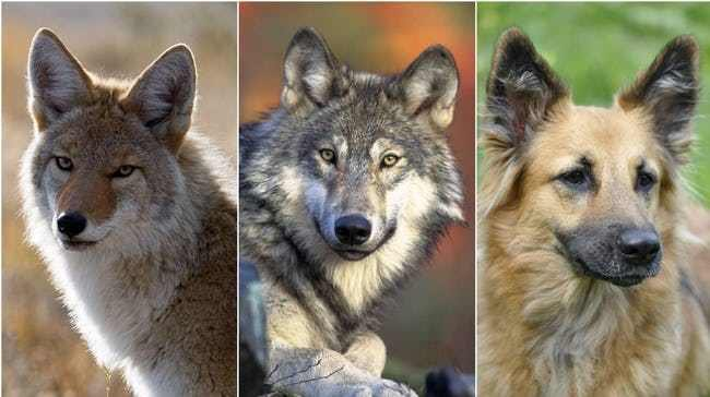 Собака-волк: как называется помесь, описание гибрида