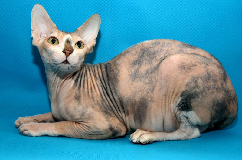 Черепаховая кошка — характер питомца и примеры основных пород
