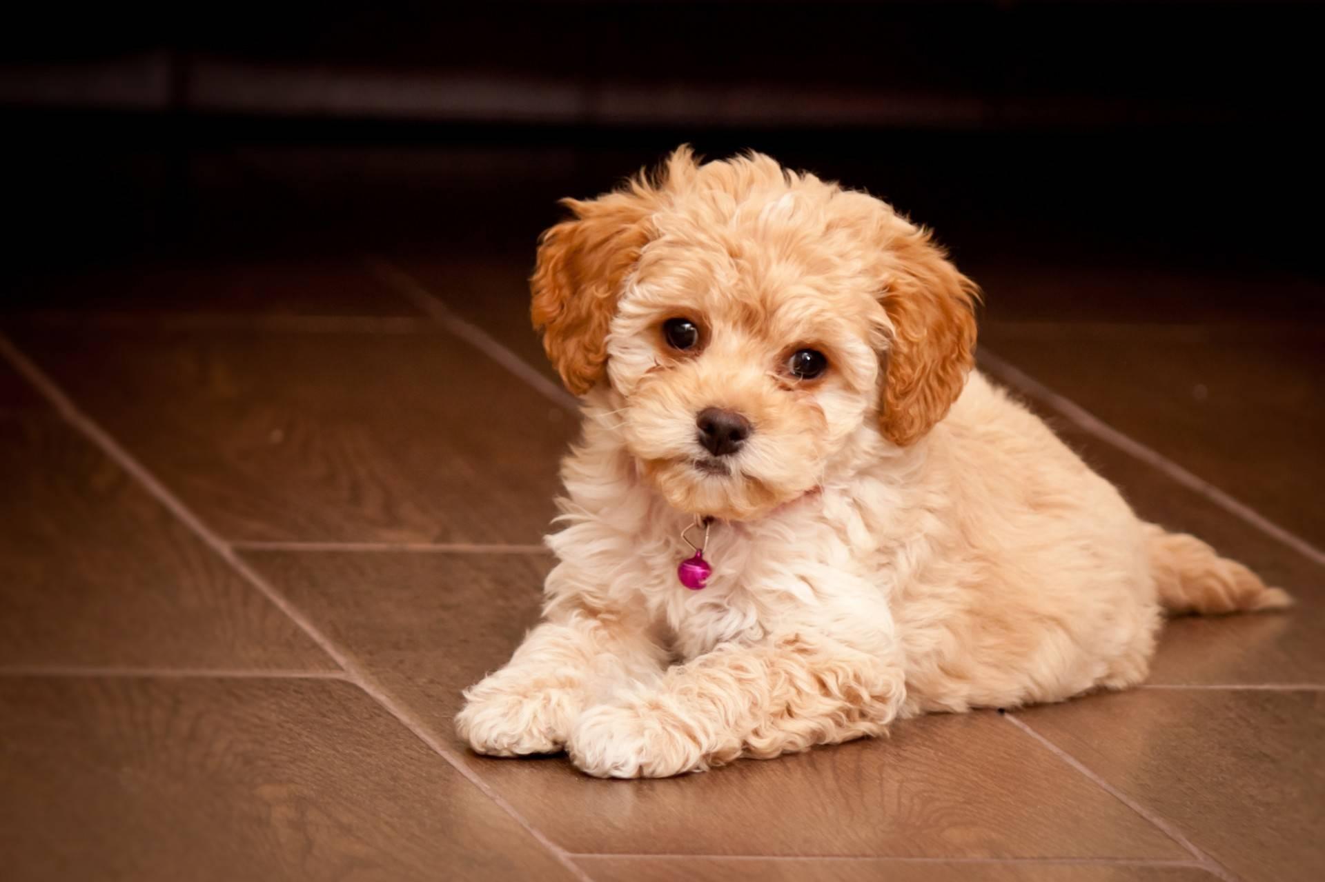 Мальтипу — порода собак