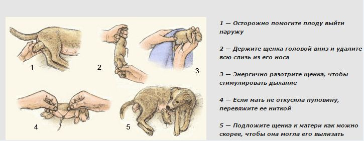 Течка у кошек: когда начинается и сколько длится