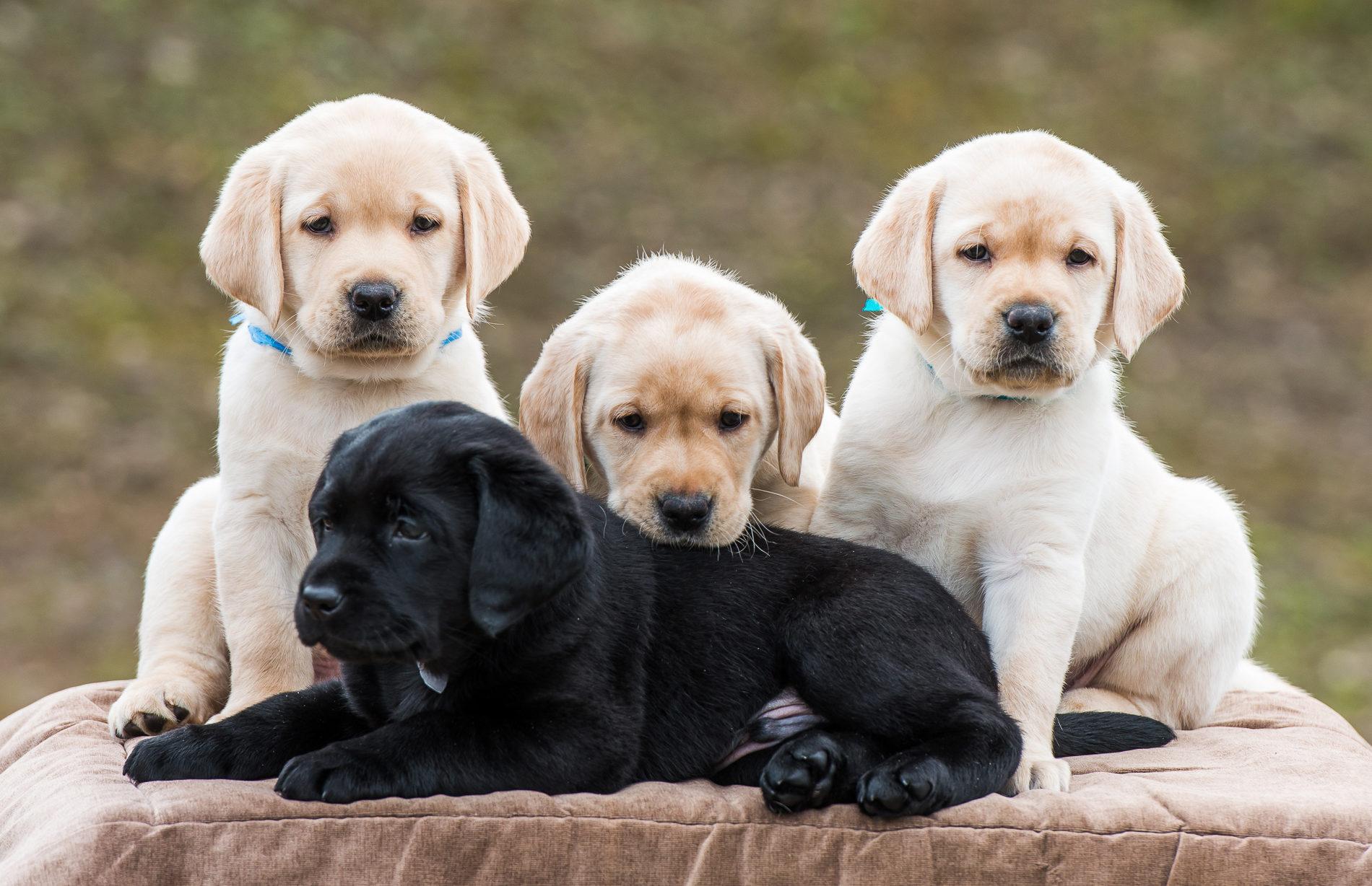 Лабрадор-ретривер: описание породы собак