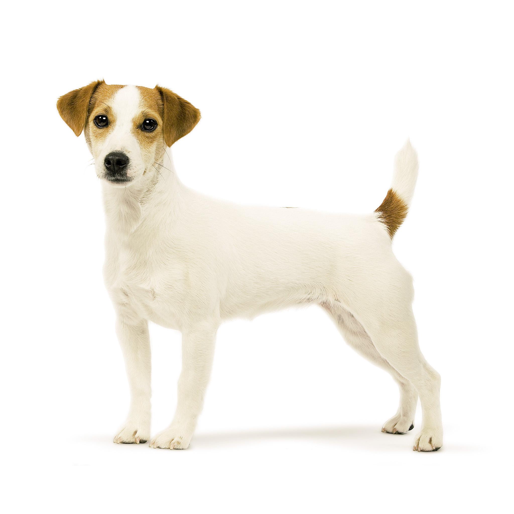 Парсон рассел терьер: описание породы собак