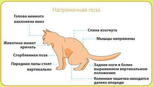 Описторхоз у кошек и котов