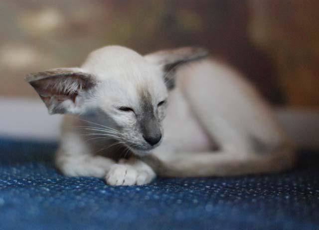Питомники ориентальных кошек в Москве и Санкт-Петербурге
