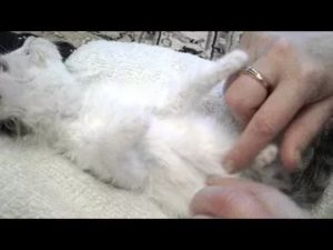 Запор у котенка: что делать в домашних условиях