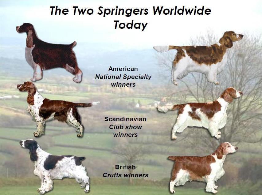 Вельш-спрингер-спаниель (уэльский): описание