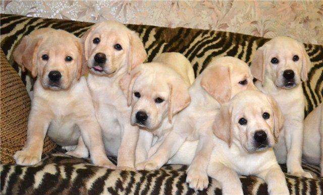 Клички для собак для лабрадоров мальчиков и девочек