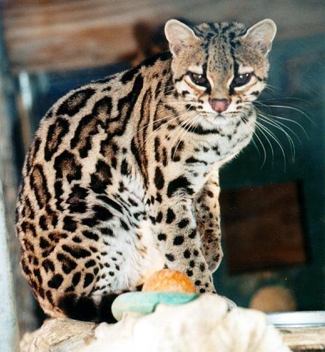 Азиатская леопардовая кошка