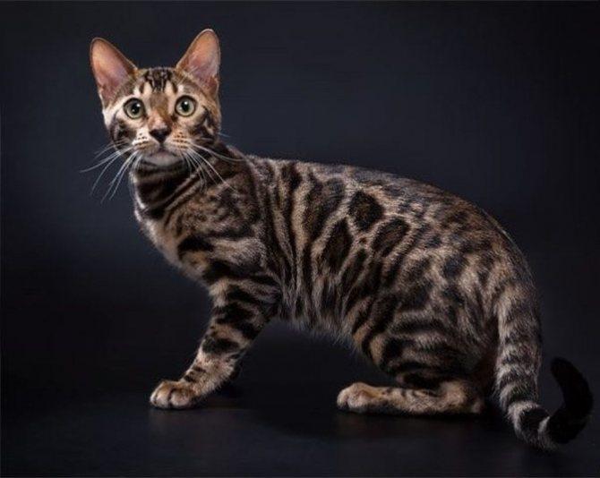 Азиатская табби: кошки и коты