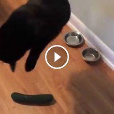 Почему коты боятся огурцов на самом деле