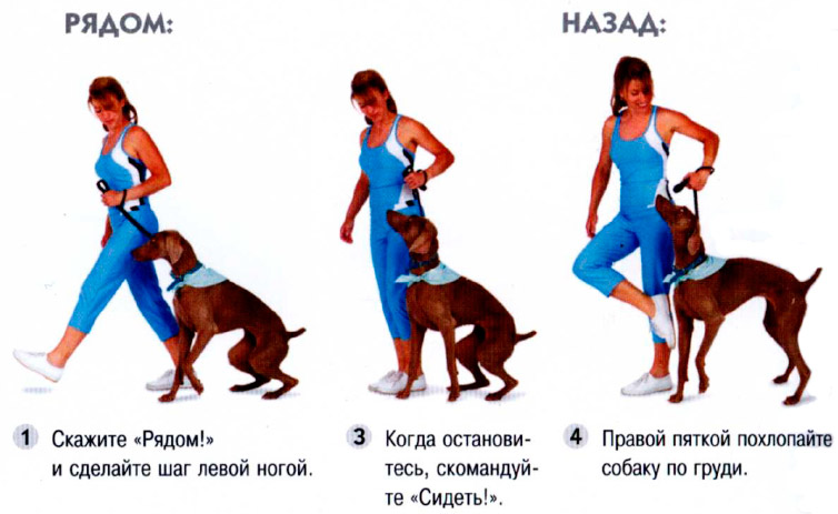 Как научить собаку команде «сидеть» в домашних условиях