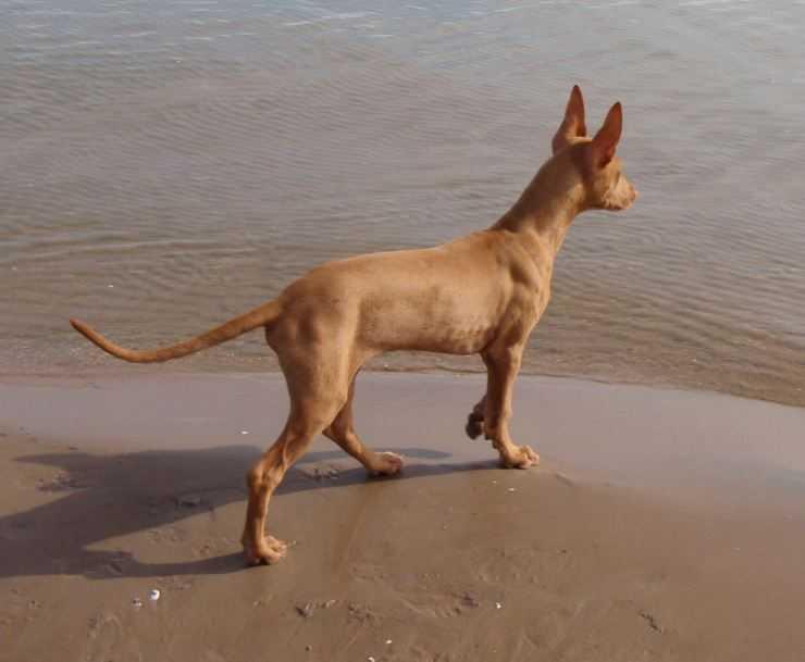 Фараонова собака: египетский анибус, описание породы