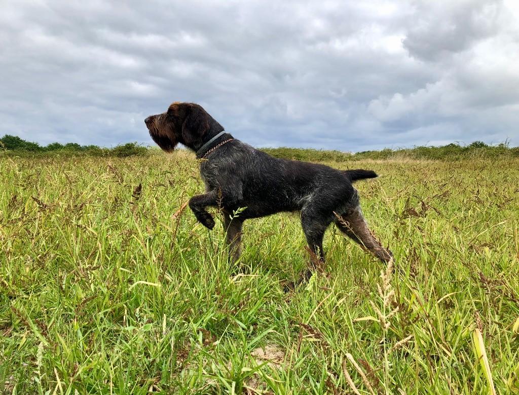 Дратхаар (собака): описание породы, характер