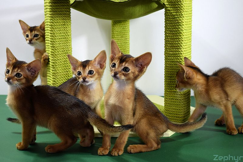 Питомники абиссинских кошек