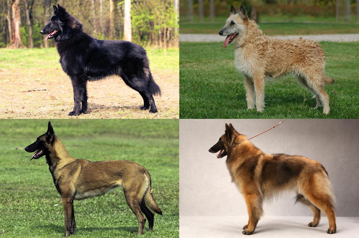 Грюнендаль (порода собак), бельгийская овчарка: описание породы