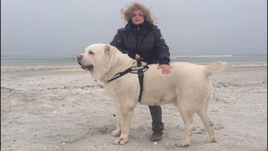 Алабай Бульдозер: самая большая среднеазиатская овчарка в мире