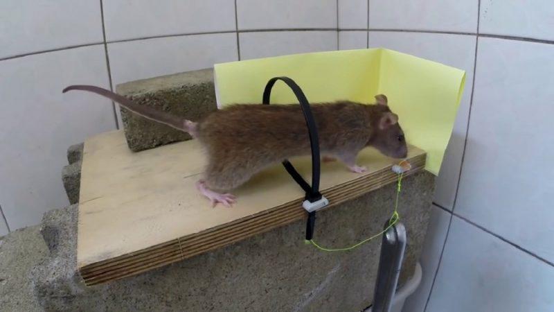 Собака-крысолов: какие породы ловят крыс и мышей